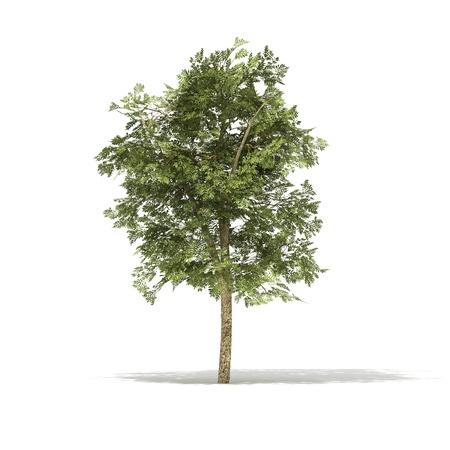 excelsior: 3D rendered illustration of Esche Tree model