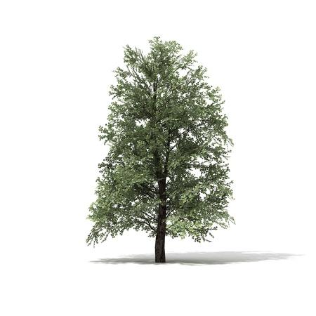 3D rendered illustration of Linde Tree model