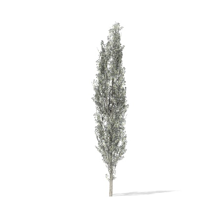 poplar: 3D rendered illustration of Pappel Tree model