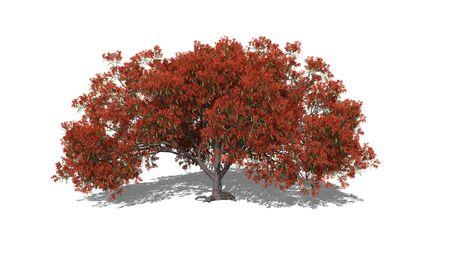 3D renderet illustration Delonix regia in spring
