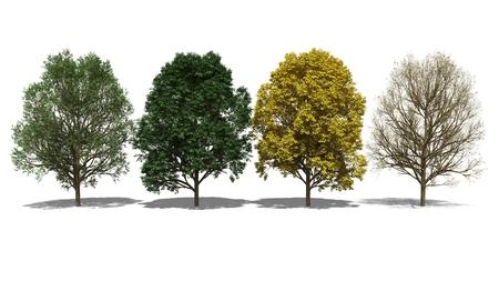 acer: 3D computer rendered illustration Acer pseudoplatanus Four Seasons Stock Photo