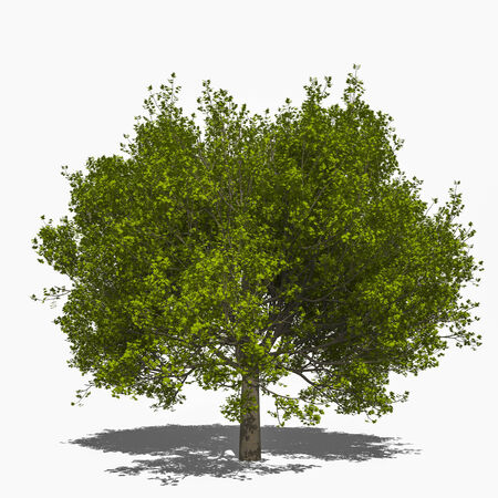 saccharum: 3D computer rendered illustration saccharum summer