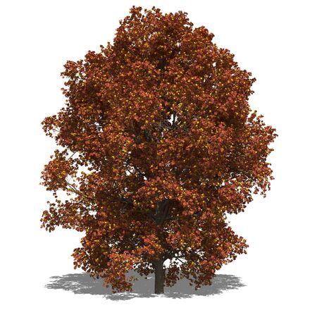 saccharum: 3D computer rendered illustration saccharum autumn