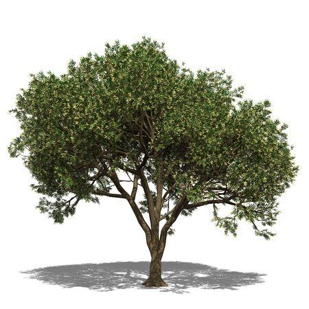 food poison: 3D computer rendered illustration Adenanthera pavonina autumn