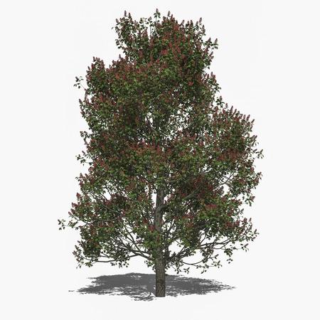 aesculus hippocastanum: 3D computer rendered illustration Aesculus x carnea summer
