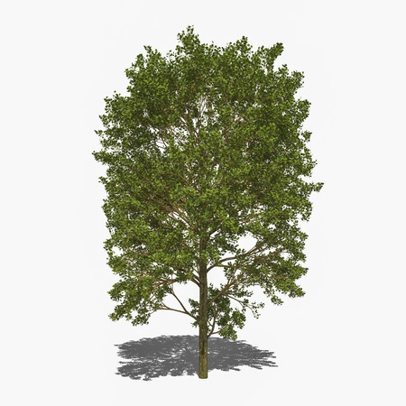 laevigata: 3D computer rendered illustration Crataegus laevigata
