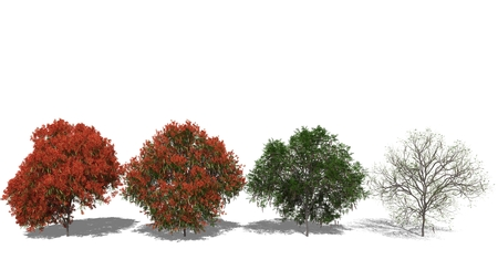 3D computer rendered illustration Delonix regia Four Seasons illustration