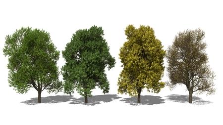 quercus robur: 3D computer rendered illustration Quercus robur Four Seasons