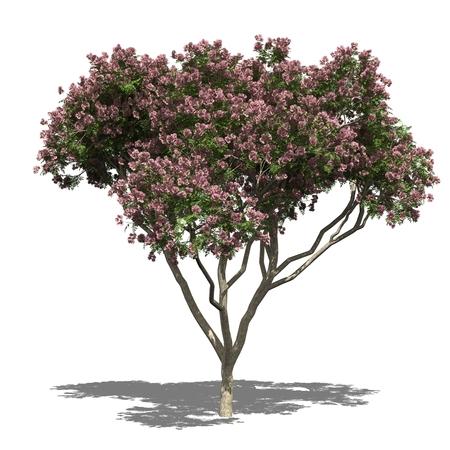 samanea saman: 3D computer rendered illustration Rain Tree, Samanea saman autumn Stock Photo
