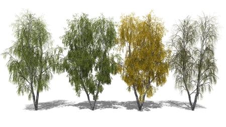 betula: 3D computer rendered illustration Betula pendula Four Seasons Stock Photo