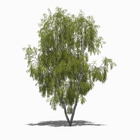 betula pendula: 3D computer rendered illustration Betula pendula summer