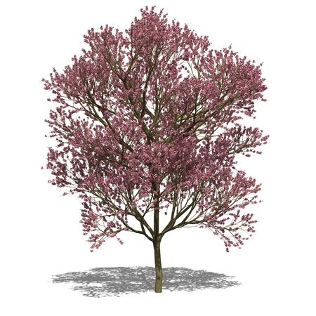 catalpa: 3D computer rendered illustration Catalpa x erubescens autumn