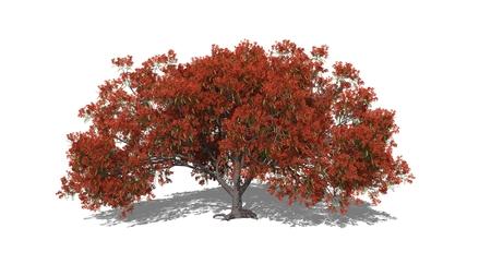3D computer rendered illustration Delonix regia in autumn