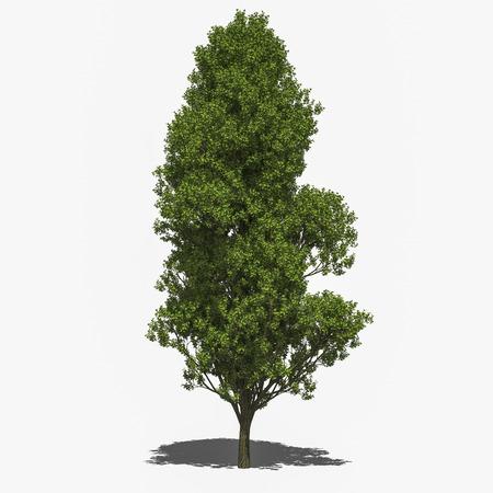 quercus robur: 3D computer rendered illustration Quercus robur  Stock Photo