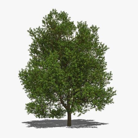 quercus robur: 3D computer rendered illustration Quercus robur summer Stock Photo