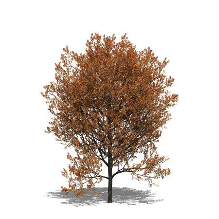 quercus: 3D computer rendered illustration Quercus rubra autumn Stock Photo