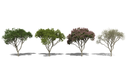 samanea saman: 3D computer rendered illustration Rain Tree, Samanea saman Four Seasons