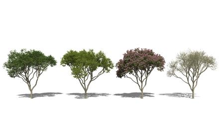 samanea saman: 3D computer rendered illustration Rain Tree, Samanea saman Four Seasons