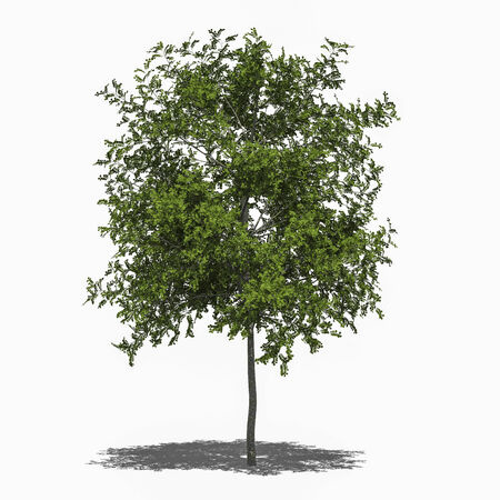 3D computer rendered illustration Robinia pseudoacacia Umbraculifera summer Stock Photo