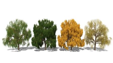 salix alba: 3D computer rendered illustration Salix alba