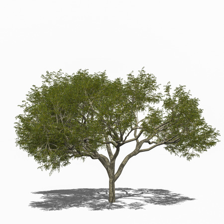samanea saman: 3D computer rendered illustration Rain Tree, Samanea saman summer Stock Photo