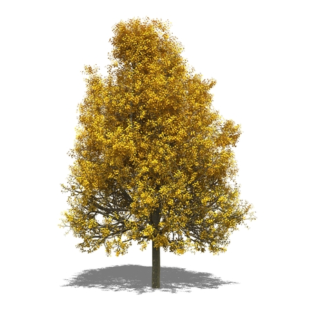 tilia: 3D computer rendered illustration Tilia tomentosa autumn