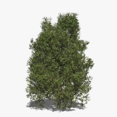 tilia: 3D computer rendered illustration Tilia tomentosa summer