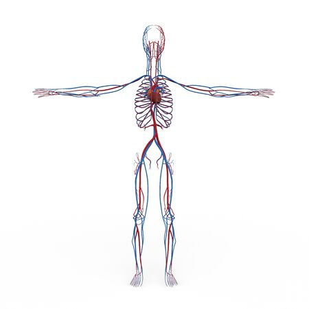 anatomically: rendered illustration of Realistic detailed and anatomically Male Anatomy, are shown Circulatory Heart Veins Ateries