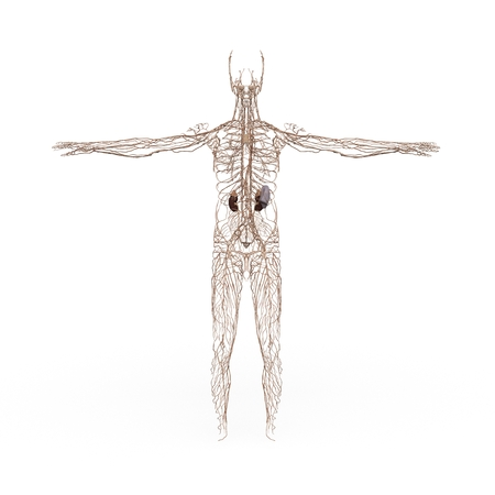 anatomically: rendered illustration of Realistic detailed and anatomically Male Anatomy, are shown Lymphatic System