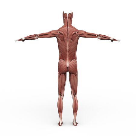 anatomically: rendered illustration of Realistic detailed and anatomically Male Anatomy, are shown Muscular back site Stock Photo