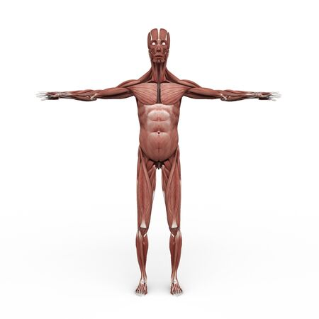 anatomically: rendered illustration of Realistic detailed and anatomically Male Anatomy, are shown Muscular front site