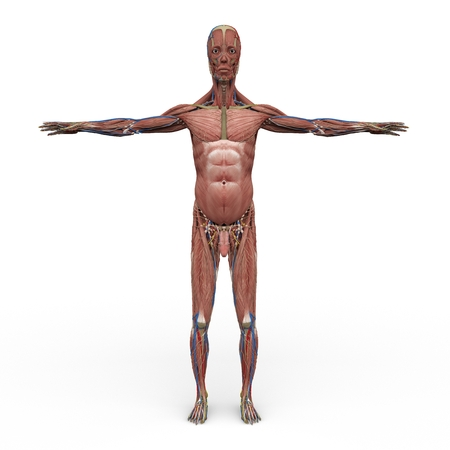 humane: rendered illustration of Realistic detailed and anatomically Male Anatomy, are shown everything except the skin Stock Photo