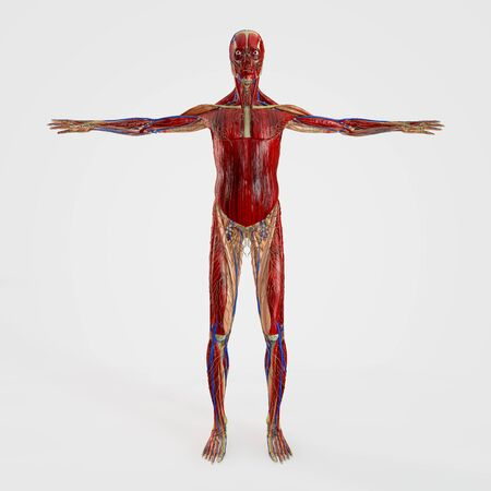 musculoskeletal: Computer rendered illustration one anatomy front site isolated Stock Photo