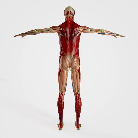 musculoskeletal: Computer rendered illustration one anatomy back site isolated