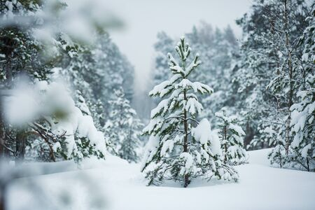 Finland, Espoo in winter. Baltic sea coast covered with snow in foggy day. Island with forest, pine trees and snow white land. Scenic  peaceful Scandinavian landscape