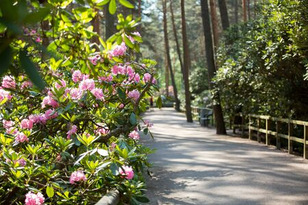 Rhododendron public park in forest in Helsinki, Finland. Beautiful flowers in bloom, wooden paths and pine trees. People walking in summer park.