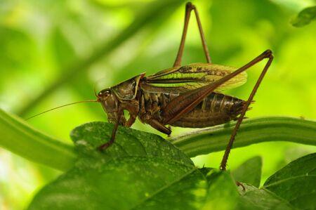 insecta: A grasshopper