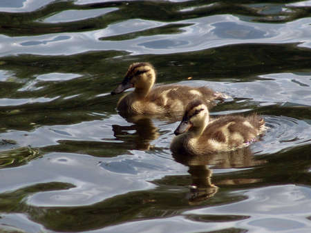 Mallard ducks swimming in Boston Public Gardens.
