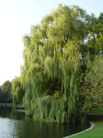 Willow tree swaying in the wind in the Boston Public Gardens. Imagens