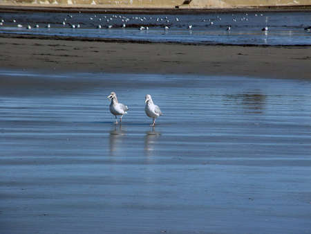 water birds: Two seagulls out for a morning stroll and having a chat.