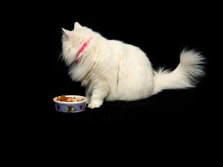 catfood: Alimento disdaining del gatto bianco di Angora contro una priorit� bassa nera.