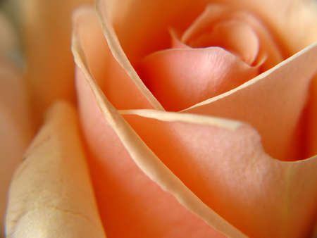 Extreme closeup of a beautiful peach rose.
