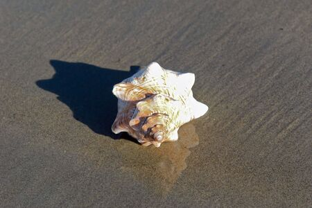 Large conch shell on the shore  in bright sunshine with reflection
