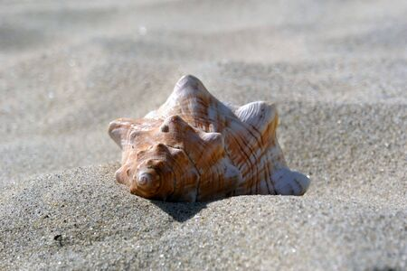 revere: large sea shell lays half buried in the dry sand at revere beach