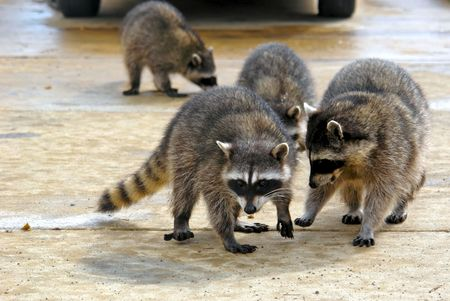 raccoons hanging out at a junk yard in the middle of the day