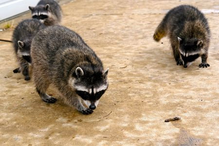 salvage yard: raccoons hanging out at a junk yard in the middle of the day