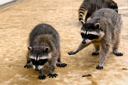 raccoons hanging out at a junk yard in the middle of the day photo