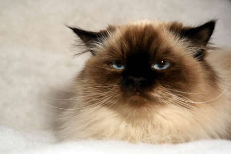 grumpy looking himalayan cat looking at viewer with big blue eyes on fake white snow