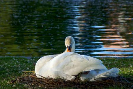 preening: beautiful white mute swan with black and orange beak preening herself at the waters edge Stock Photo