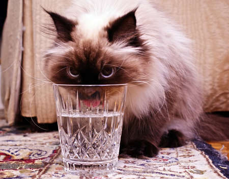 Persian Himalayan Cat drinking from crystal glass Imagens